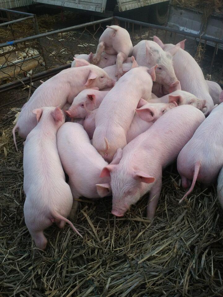 四季牧场普及一下关于猪苗,仔猪,猪仔的喂养禁忌知识