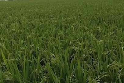 水稻种植栽培和管理技术有哪些