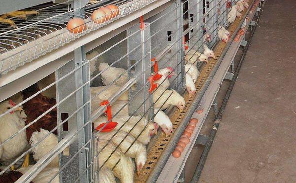 青岛自动化笼养设备厂分析如何高效养鸡