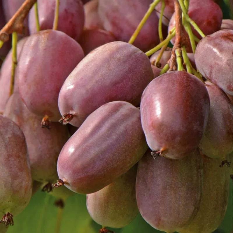 紫色萨多瓦(软枣猕猴桃)种苗