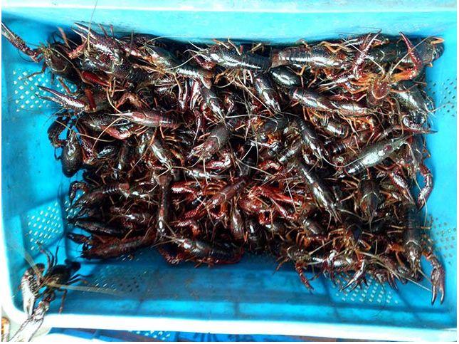 龙虾养殖有哪几种方式
