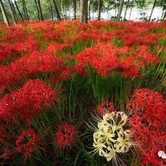 上海市林业总站赴金山实地调研玉簪和石蒜林下栽培效果