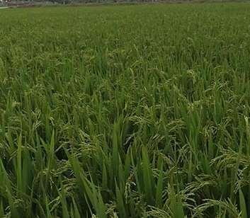 研究水稻种植的关键事项