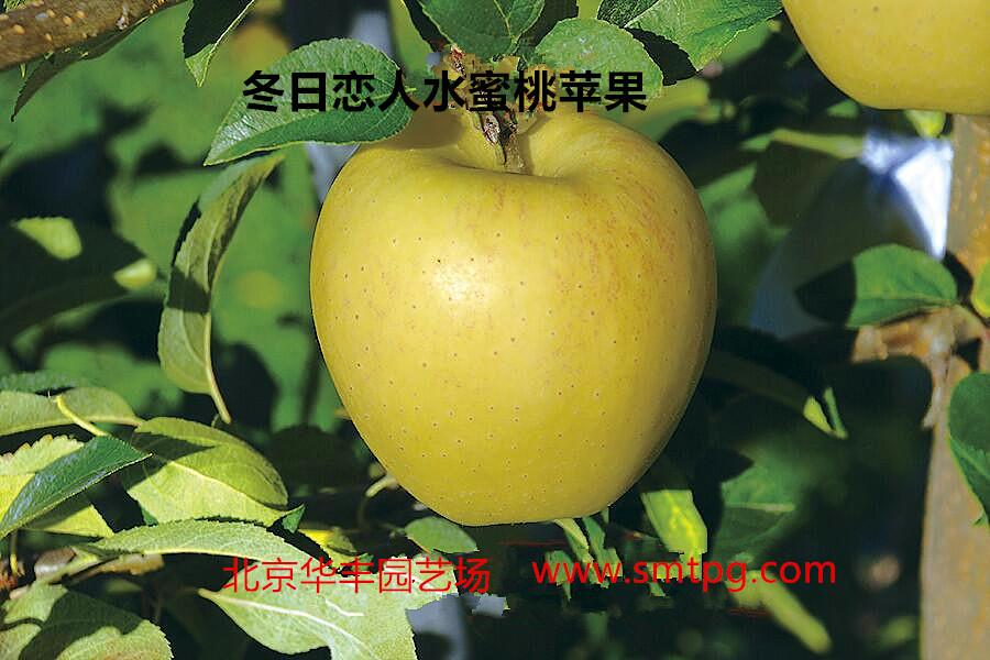 冬日恋人水蜜桃苹果 种苗