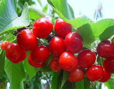 美早樱桃 种苗
