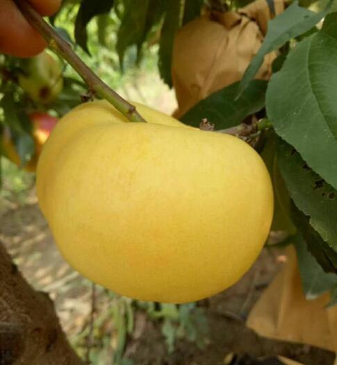 金蜜油蟠 种苗