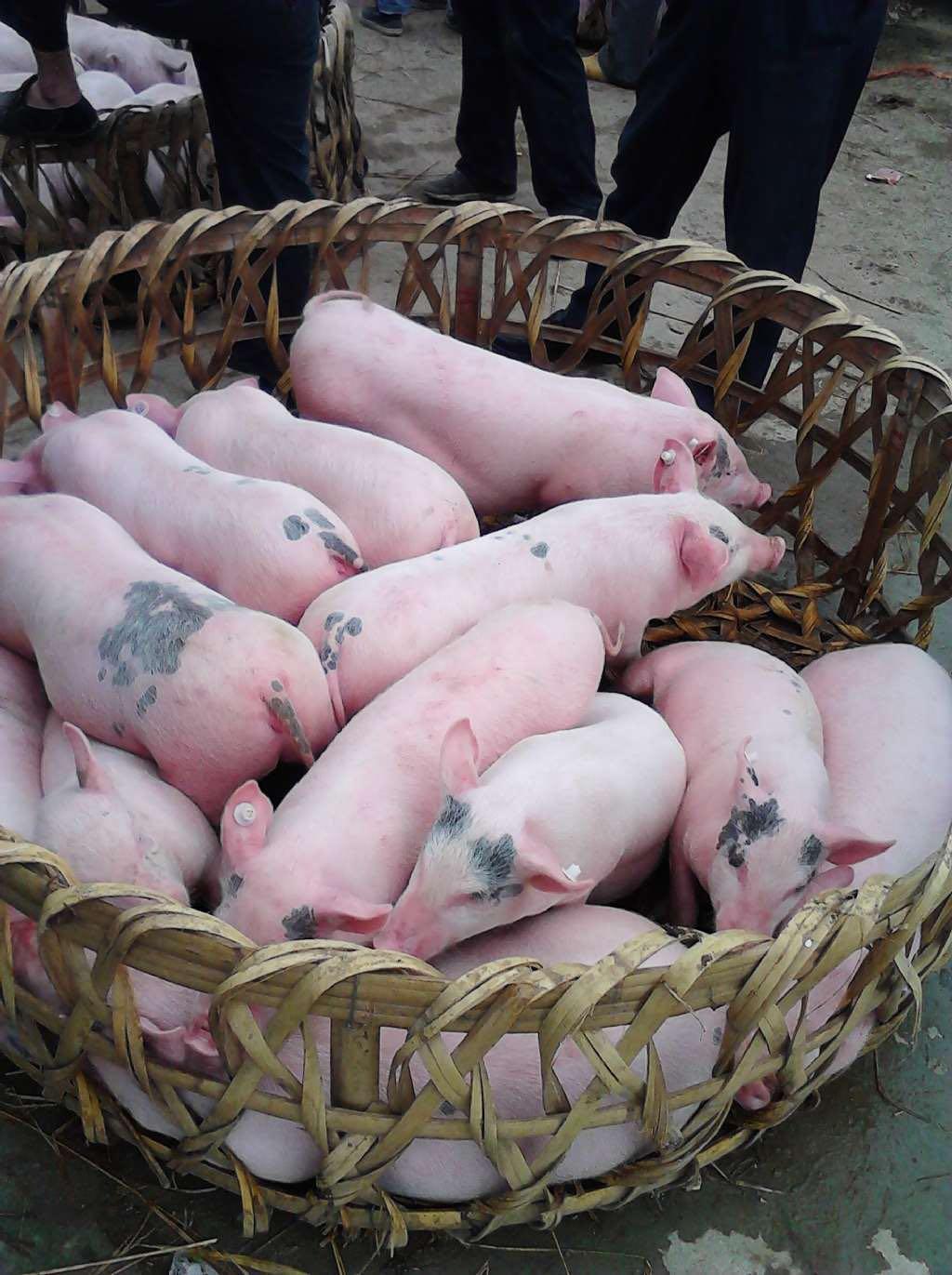 关于猪苗价格请来电咨询