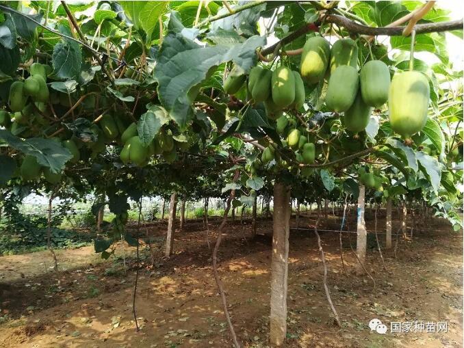软枣猕猴桃规模种植管理技术