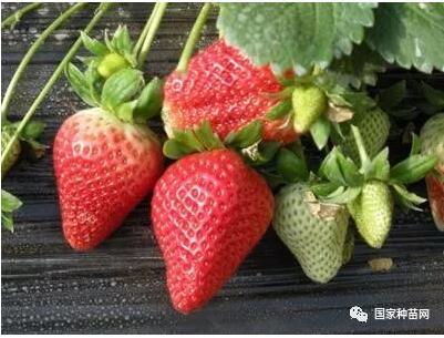 草莓苗栽种管理技术之二