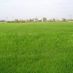 如何栽培百喜草