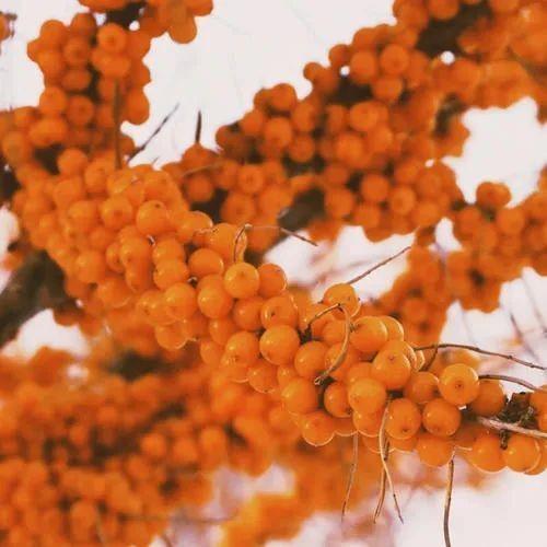 沙棘果的功效与作用,沙棘果的食用方法有哪些