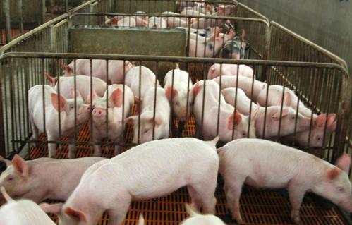 企业仔猪价格出栏情况及仔猪价格变动分析