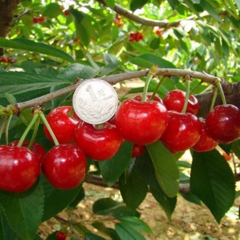 福星樱桃 种苗