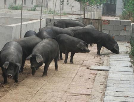 新改良型沂蒙黑猪