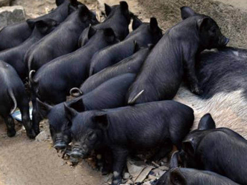 沂蒙黑仔猪