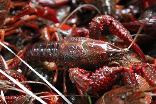 原生态大龙虾