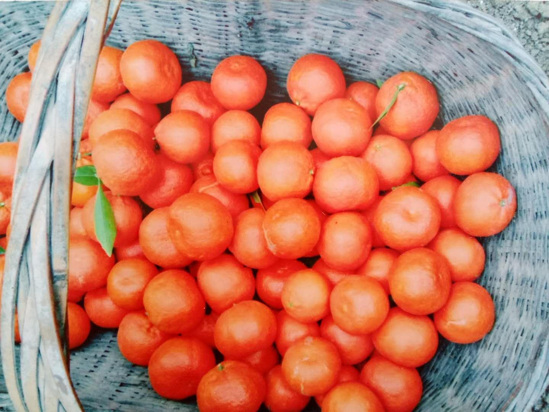 小果红桔 种苗
