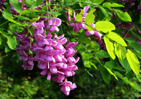 紫穗槐种子