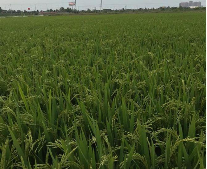 水稻种植水层管理技术要求