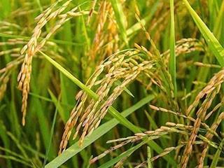 吃了几十年大米,水稻是怎么去壳你知道吗?