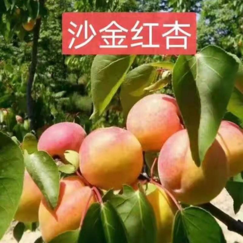 沙金红杏 种苗