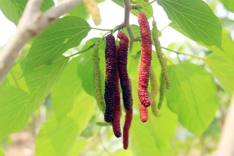 长果桑苗前期种植应该要注意到哪些问题