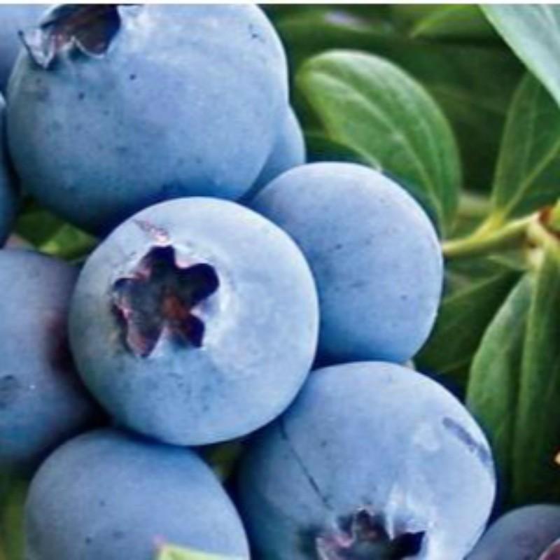 奥尼尔蓝莓 种苗