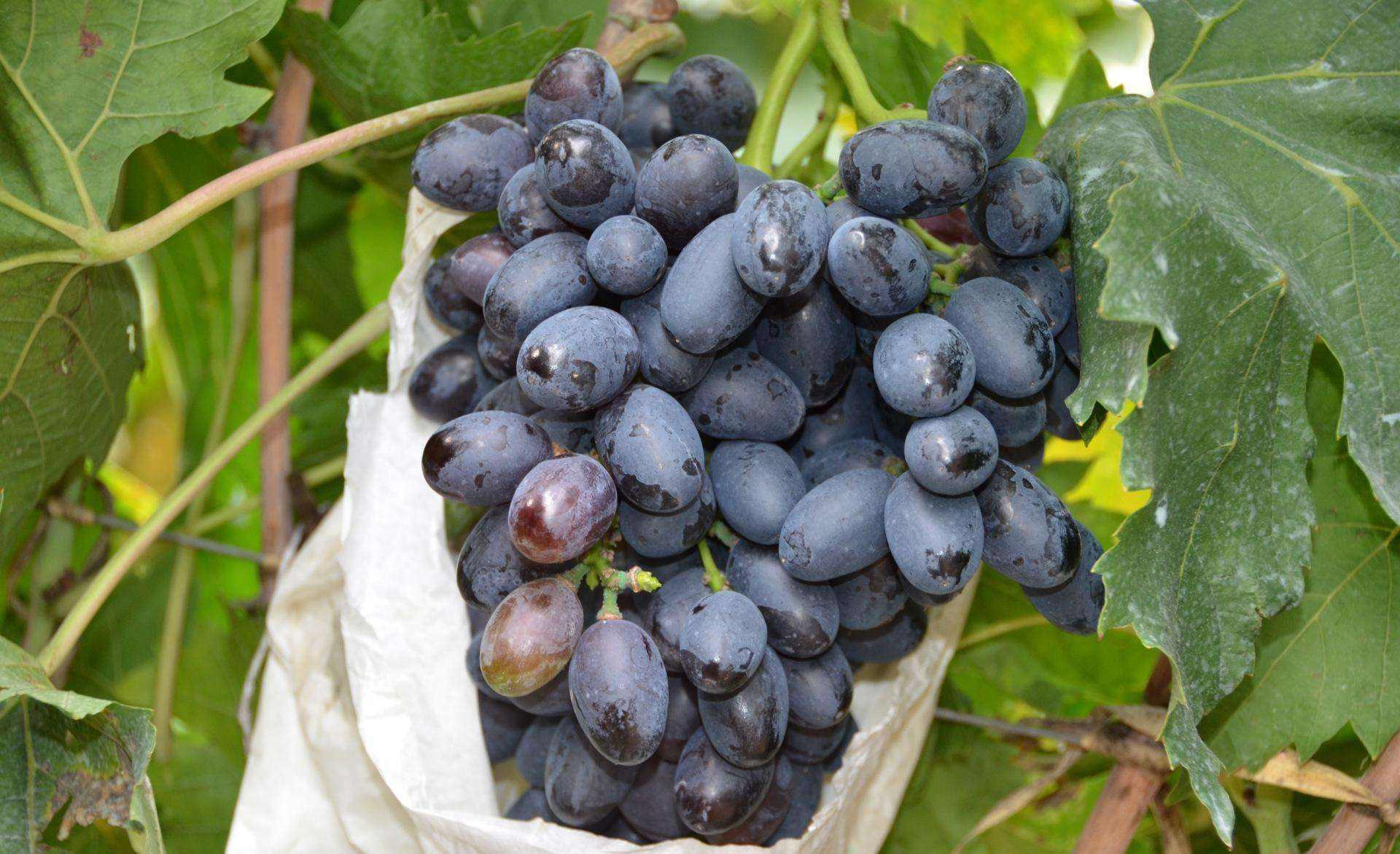 黑美人葡萄 种苗