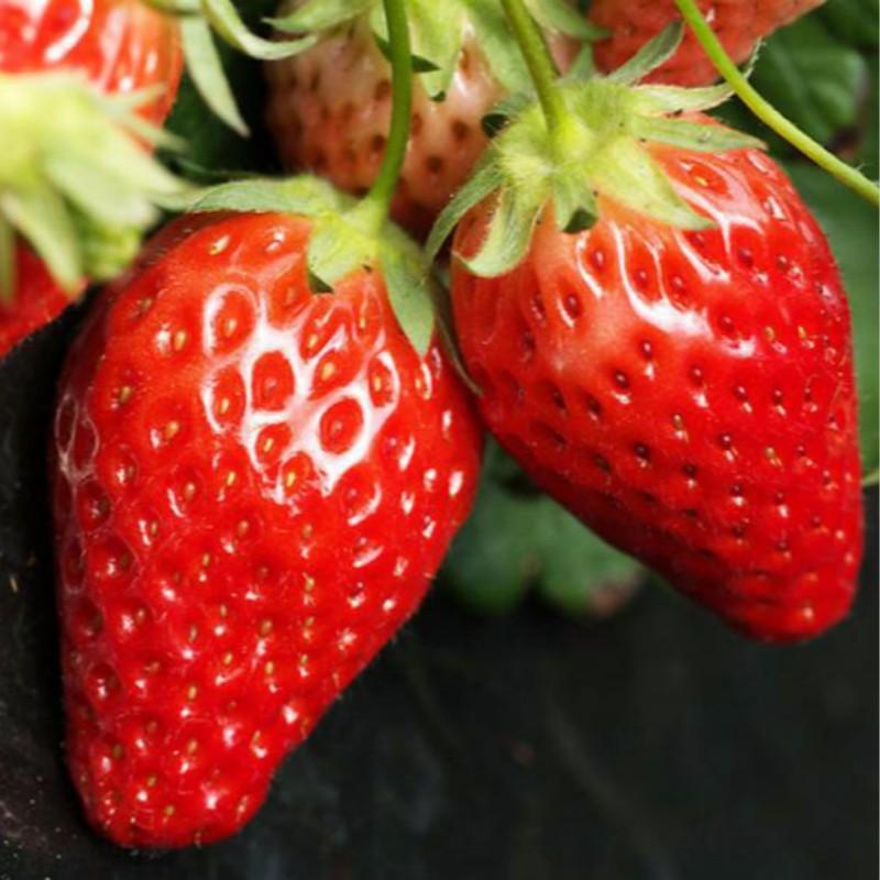 每日红四季草莓 种苗