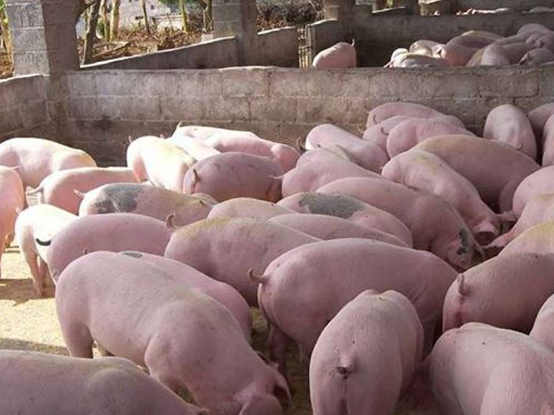 为什么说山东仔猪价格间接影响猪苗品质