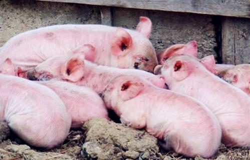 如何加强母猪的饲养管理及保证母猪的繁殖性能