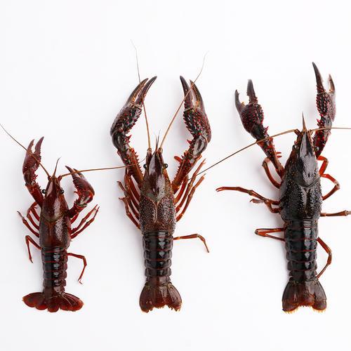 原生态小龙虾