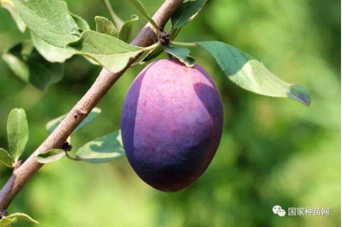 西梅规模种植可行性分析报告