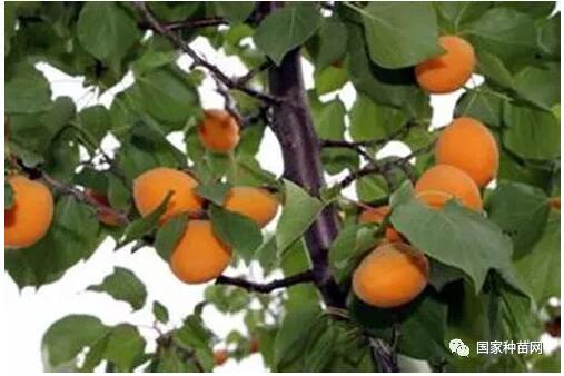 仁用杏高产优质栽培技术