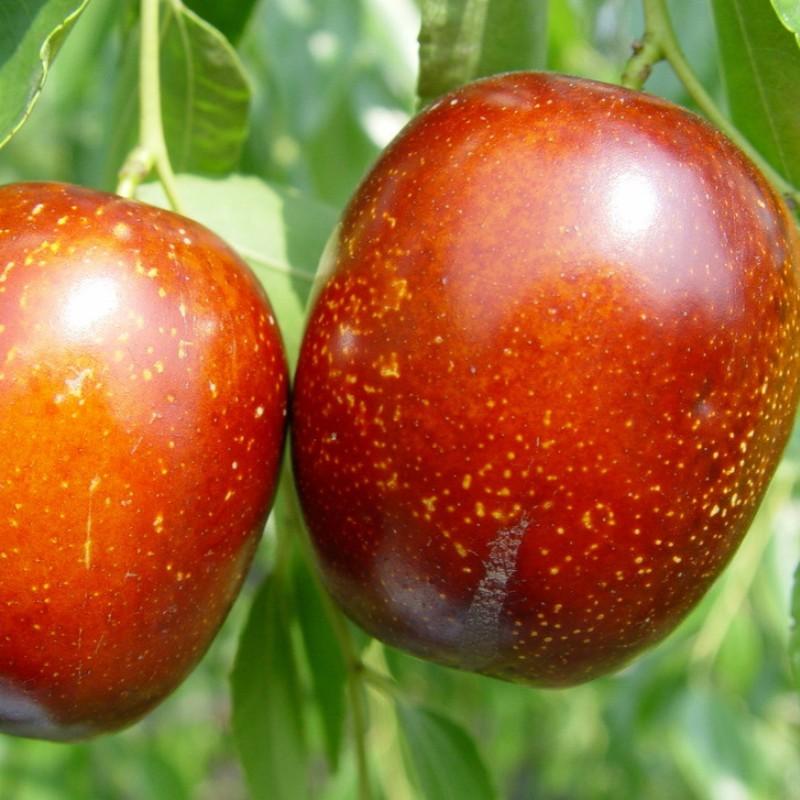 脆枣 种苗