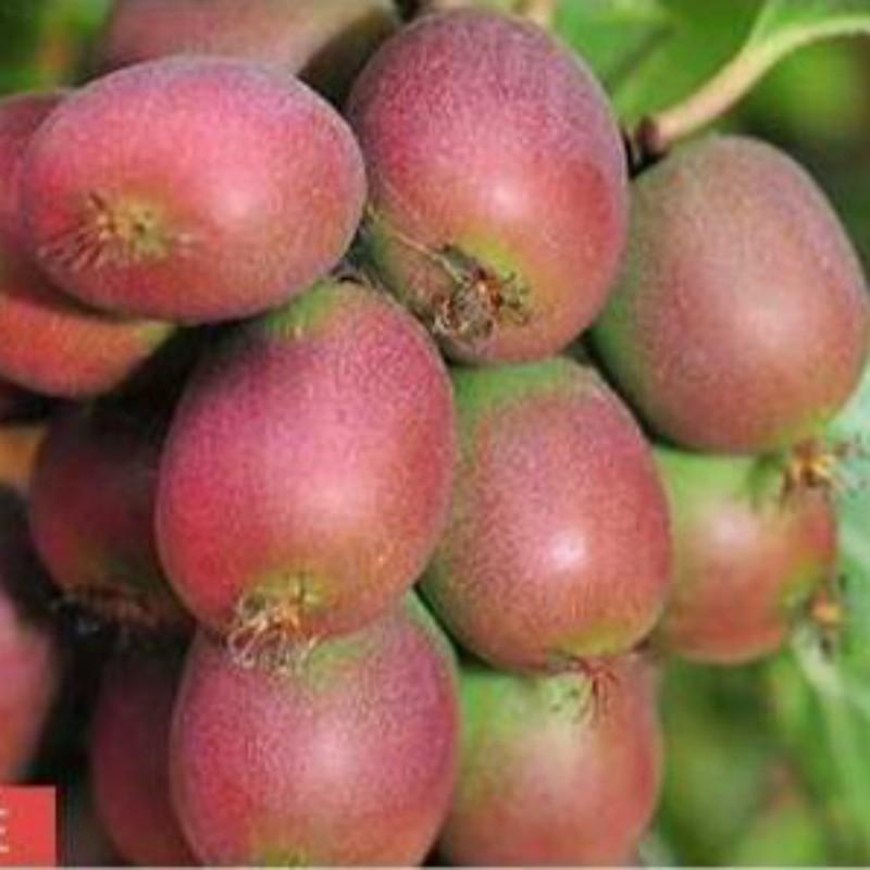 安娜(软枣猕猴桃)种苗