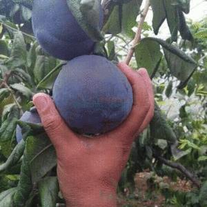 黑霸李 种苗