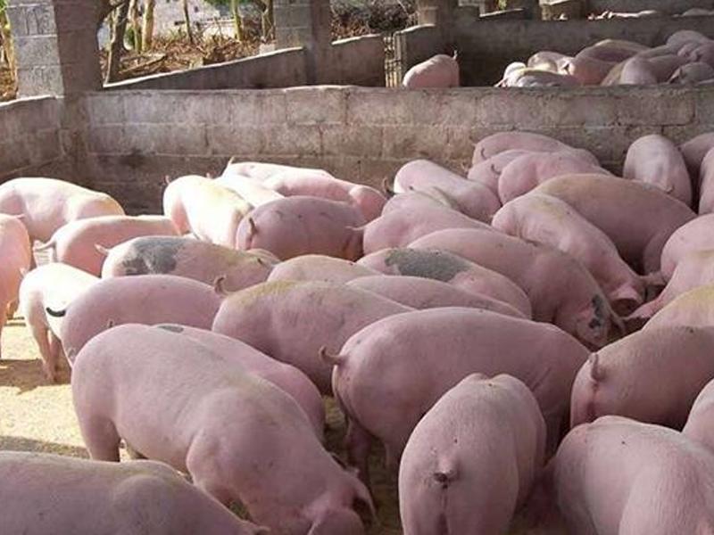 山东仔猪刚出生应该如何喂养?
