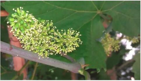 葡萄花期管理技术要点