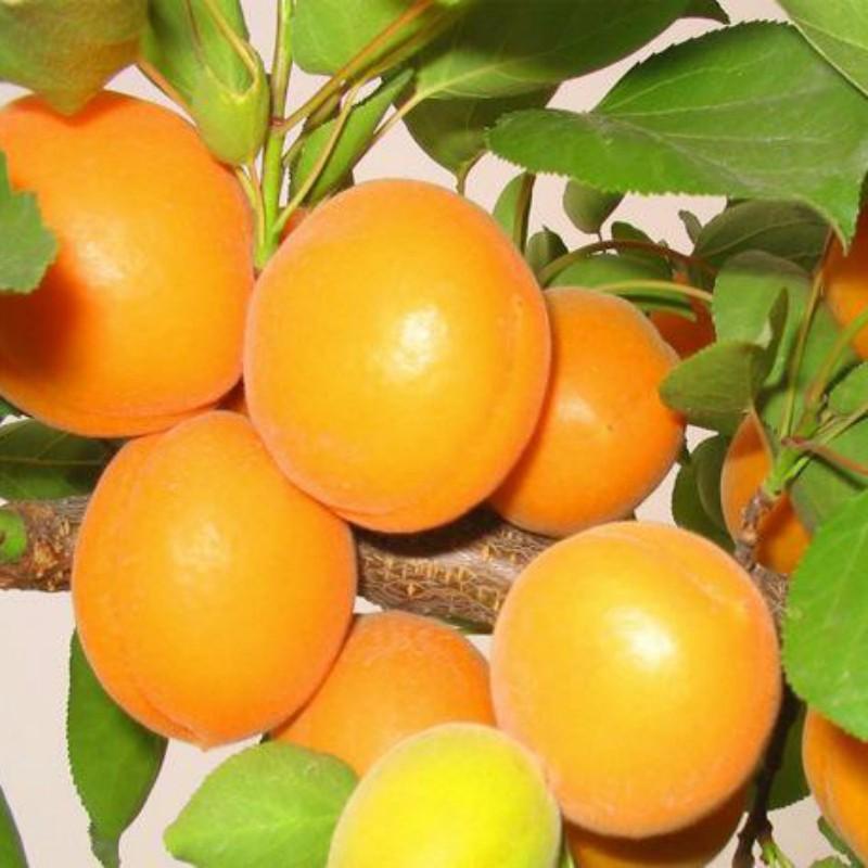 金太阳杏 种苗