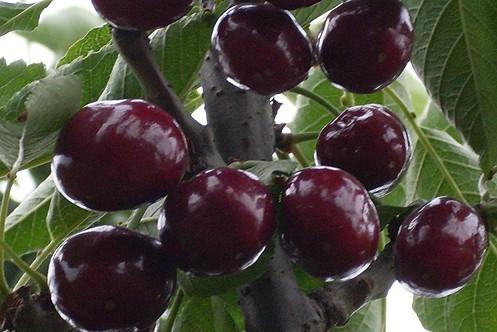 黑珍珠樱桃 种苗