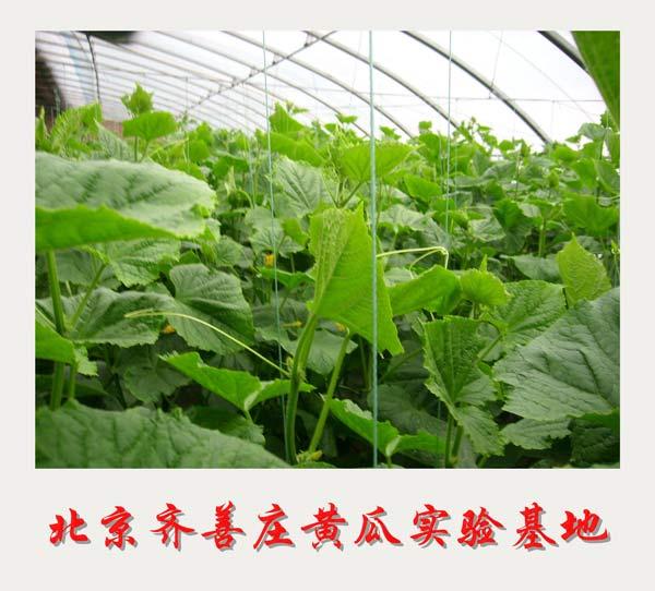 北京齐善庄黄瓜实验基地