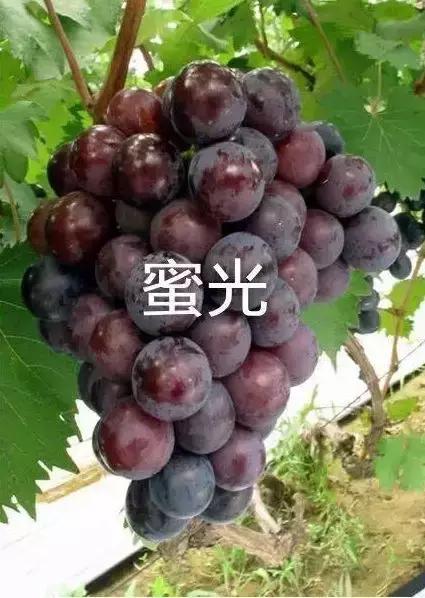 蜜光葡萄 种苗