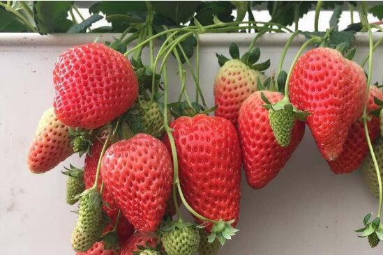 天仙醉草莓 种苗
