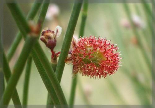 沙拐枣沙漠花开美如画