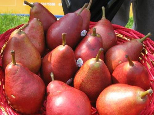 红洋梨 种苗