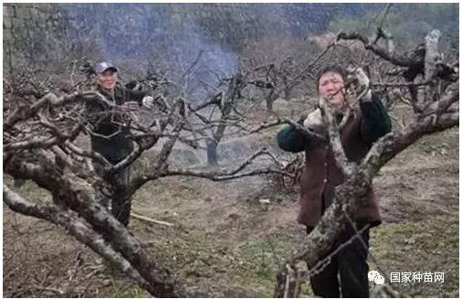 蟠桃种植管理方法