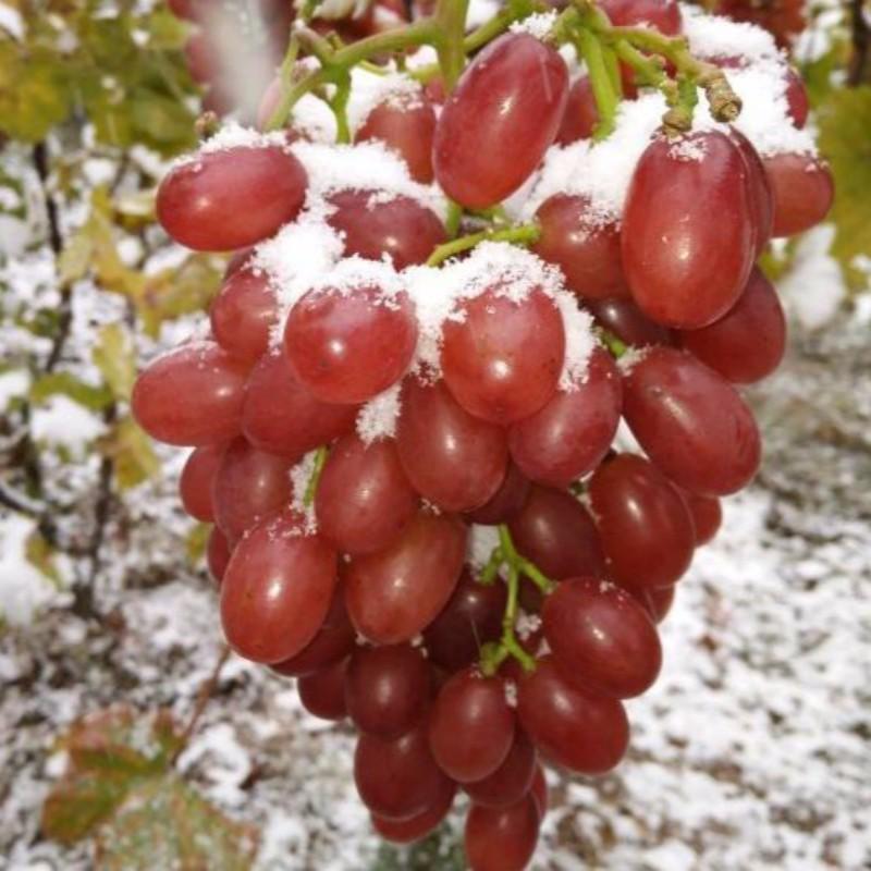 冰美人葡萄 种苗