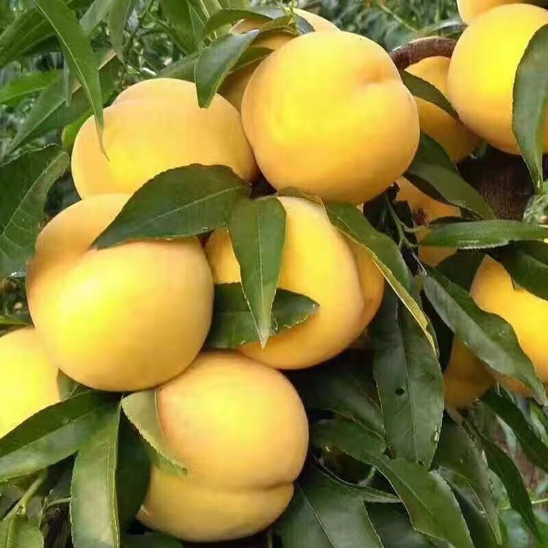金秋甜黄桃 种苗