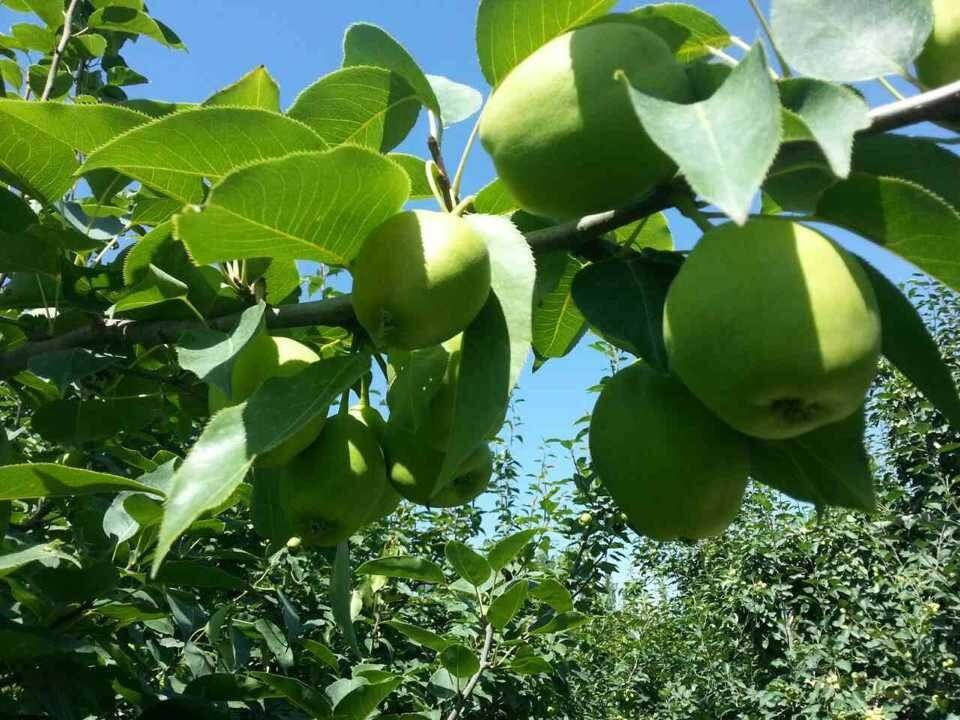 早酥梨 种苗